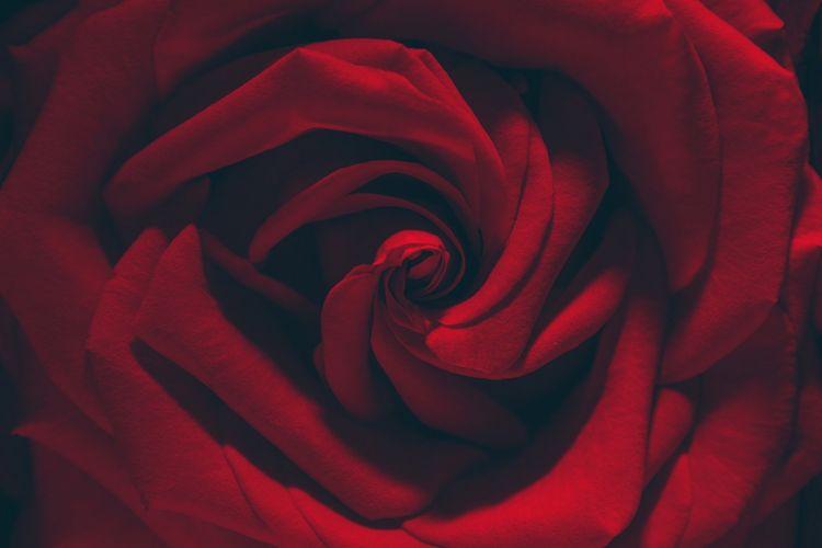 red rose flower texture wallpaper