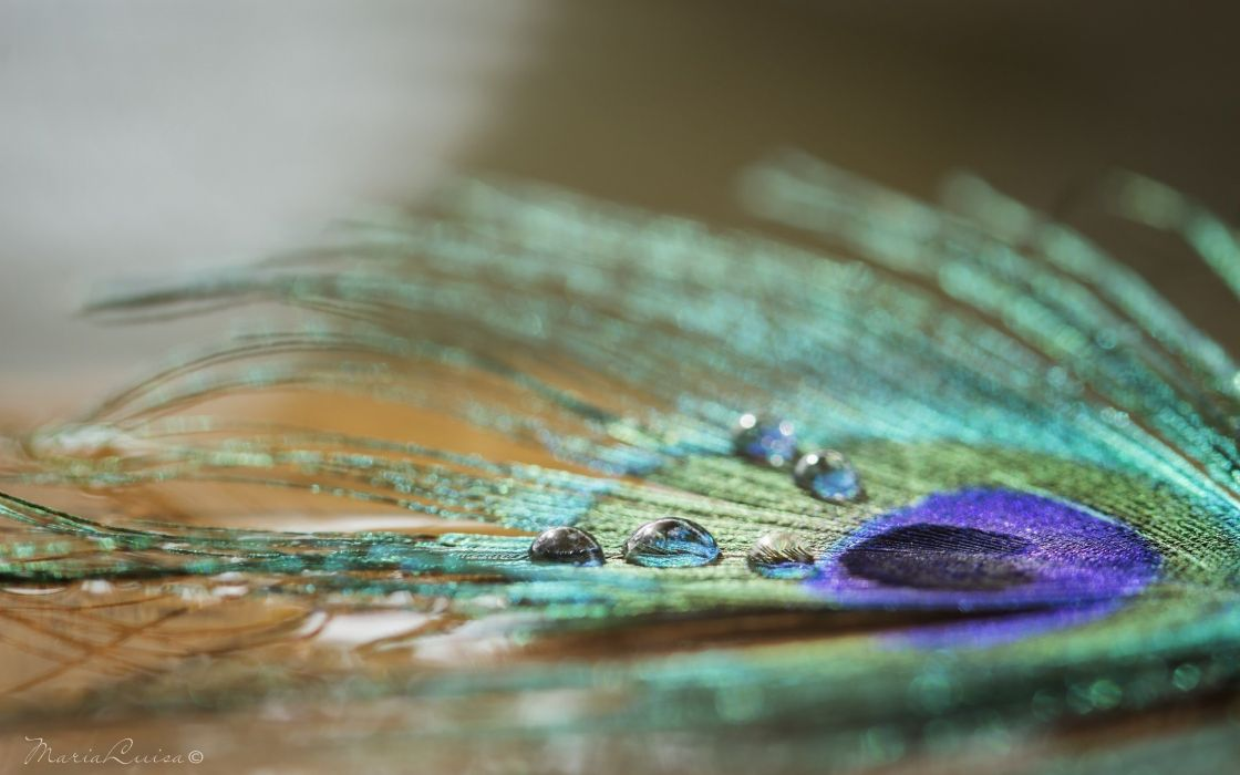 Textures Peacock feather wallpaper