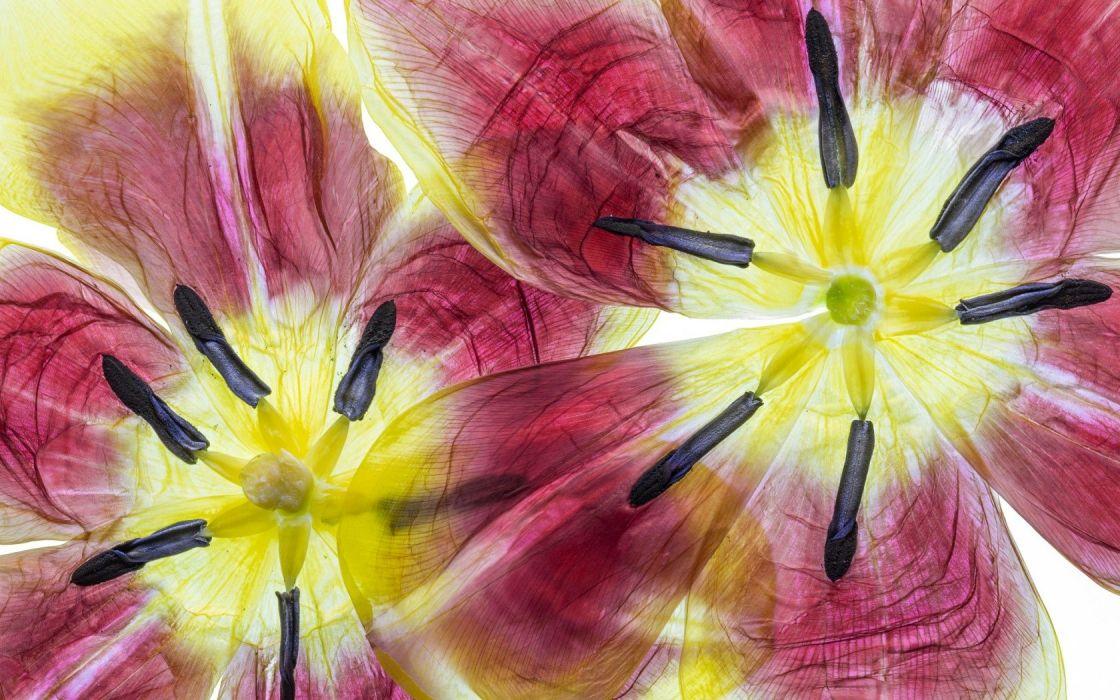 Textures flower Tulips wallpaper