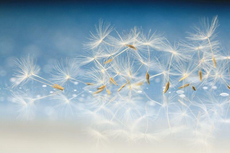 Textures Dandelions wallpaper