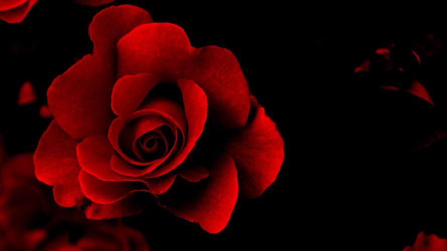 flower beauty texture red rose wallpaper