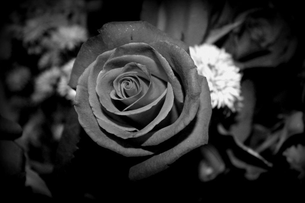 flower beauty texture black rose wallpaper