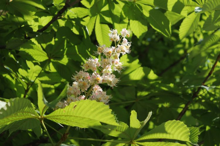 chestnut tree blossom flowers leaves spring wallpaper