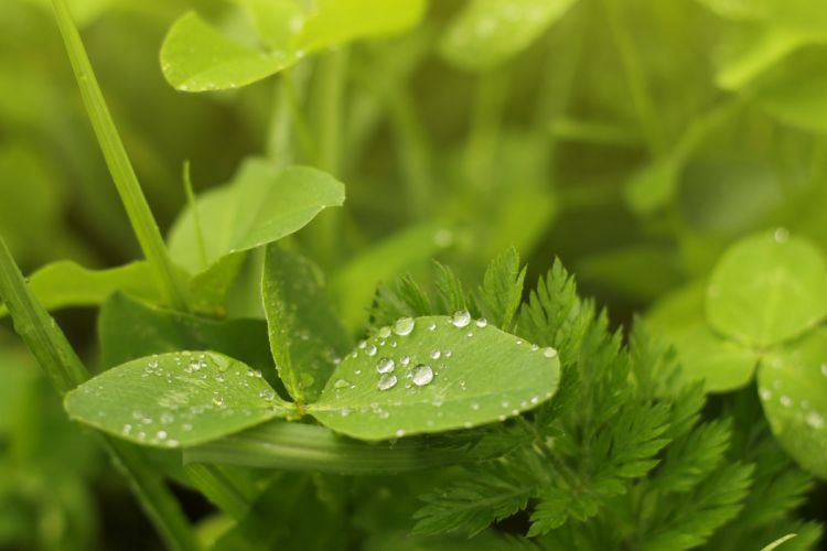 water drops green grass clover summer leaves wallpaper
