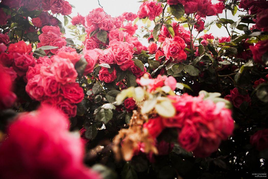 rose garden beauty flower original photo wallpaper