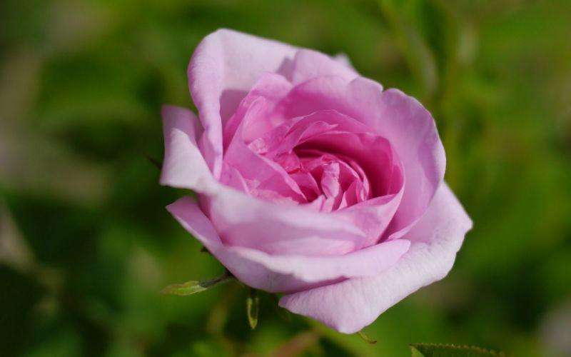 rose pink roses flowers pink flowers wallpaper