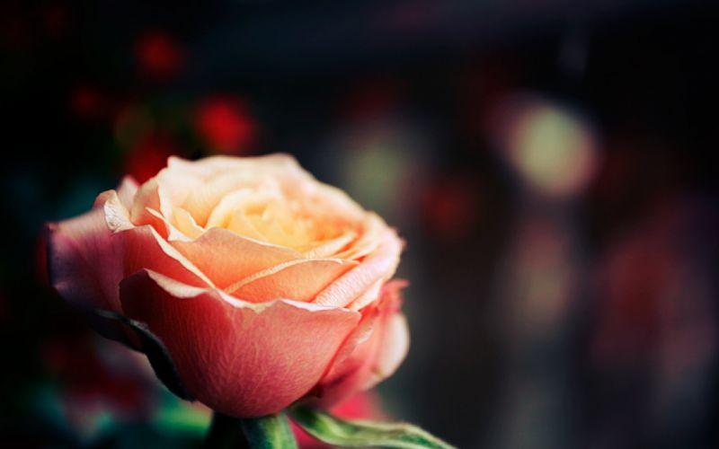 rose depth of field wallpaper