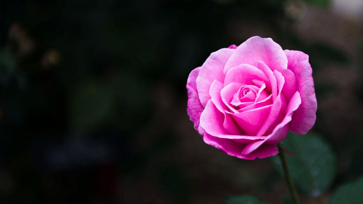 rose flowers nature wallpaper