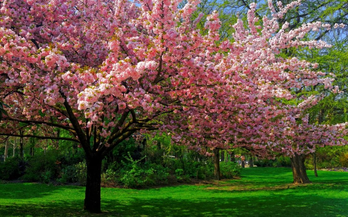 andscape nature cherry blossom wallpaper