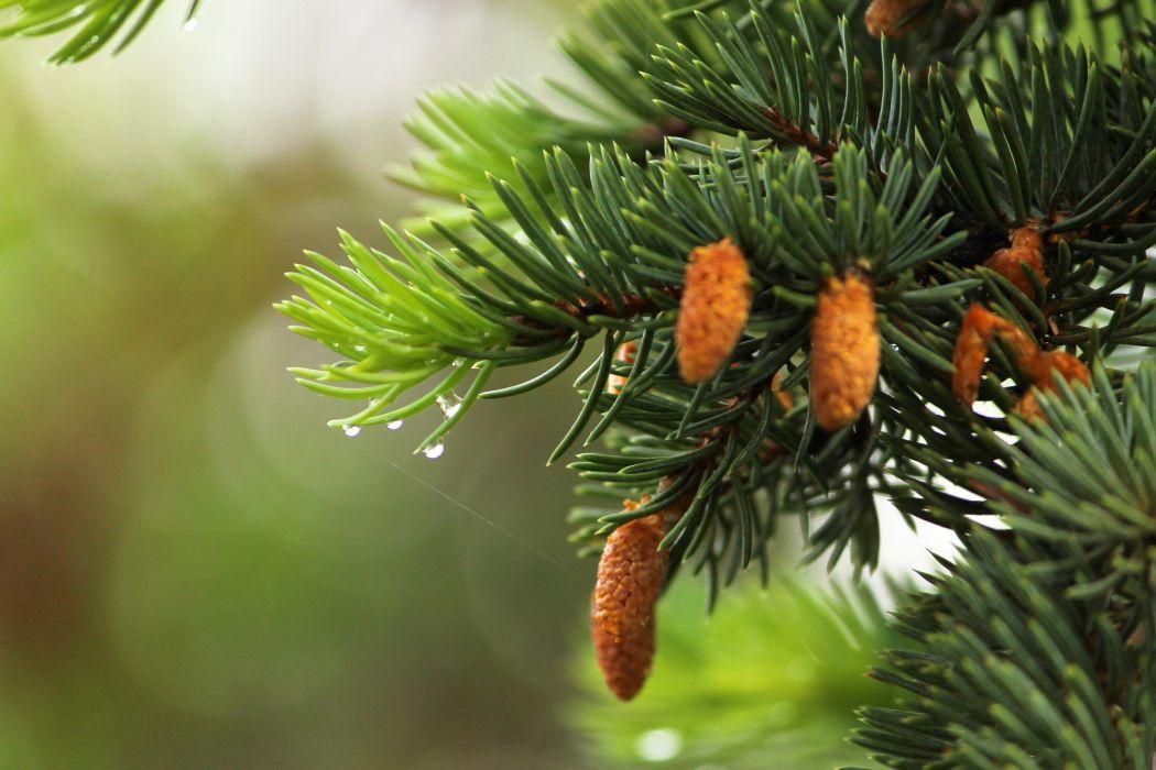 fir-tree needles green drops water spring wallpaper