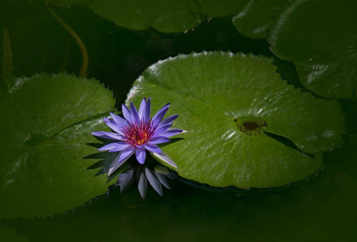 lotus flower water nature beauty wallpaper