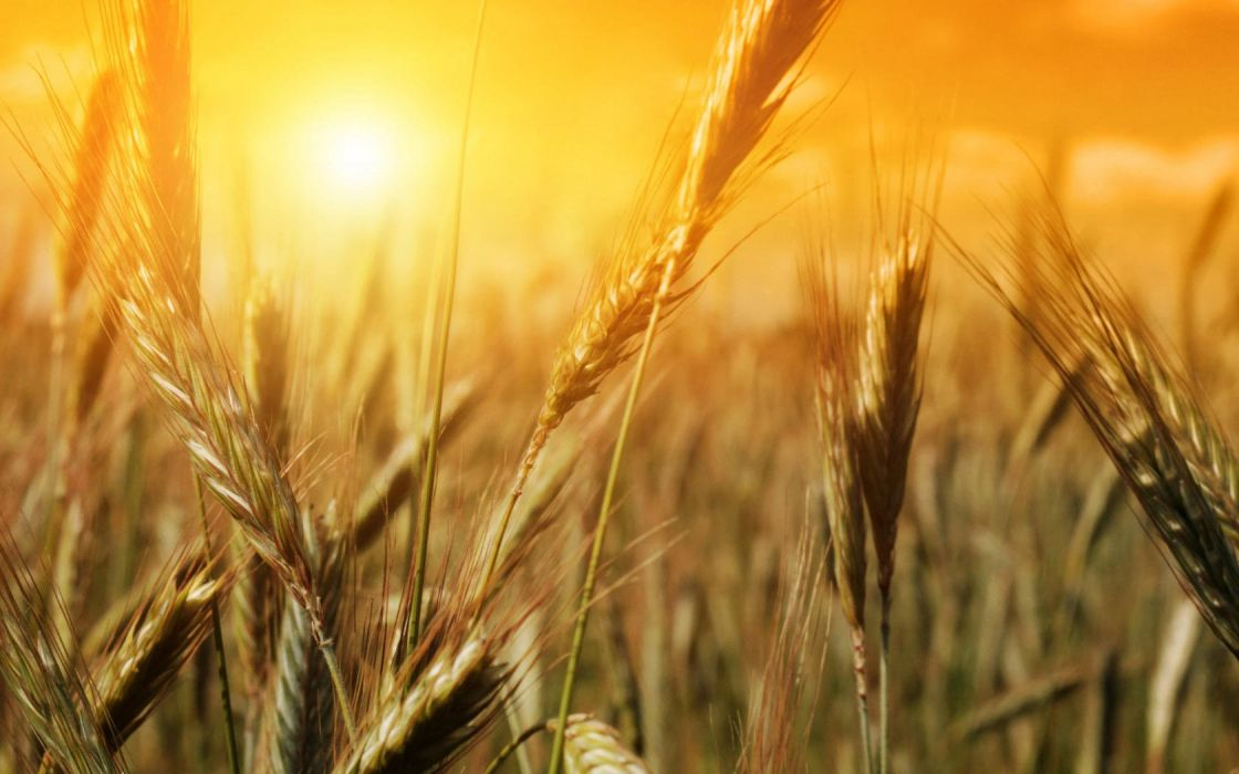 sunshine rice field scenery wallpaper