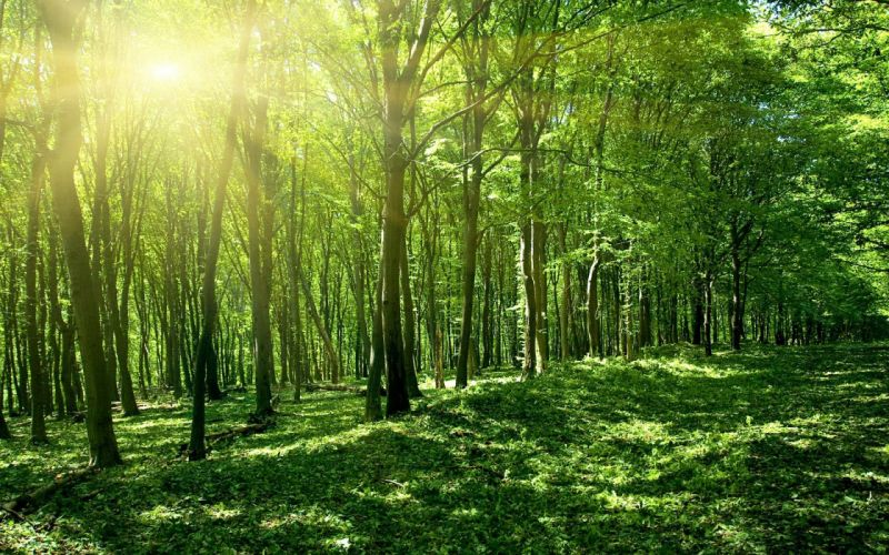 Green forest wallpaper