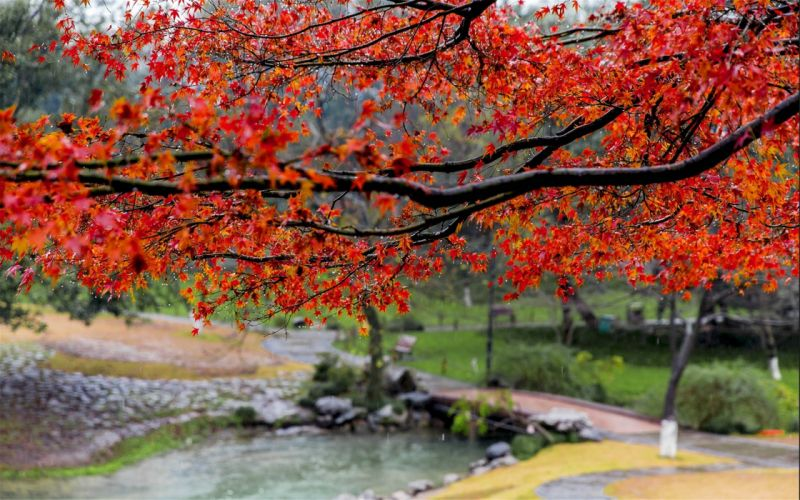 rain Beautiful autumn maple leaf fresh photography wallpaper