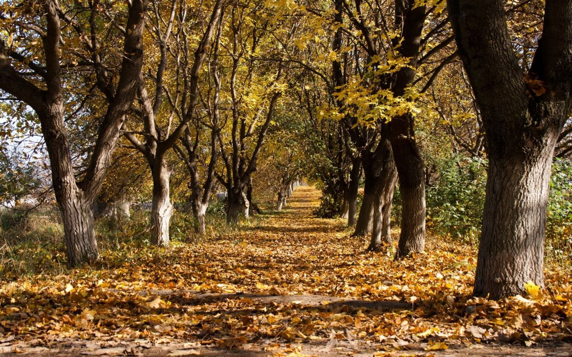 autumn trees leaf fall october trunks withering ranks track wallpaper