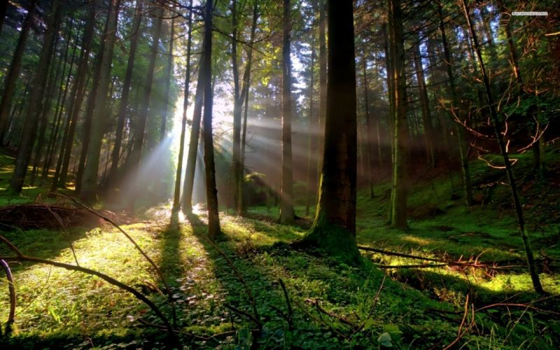 Sun shining between trees forest nature wallpaper