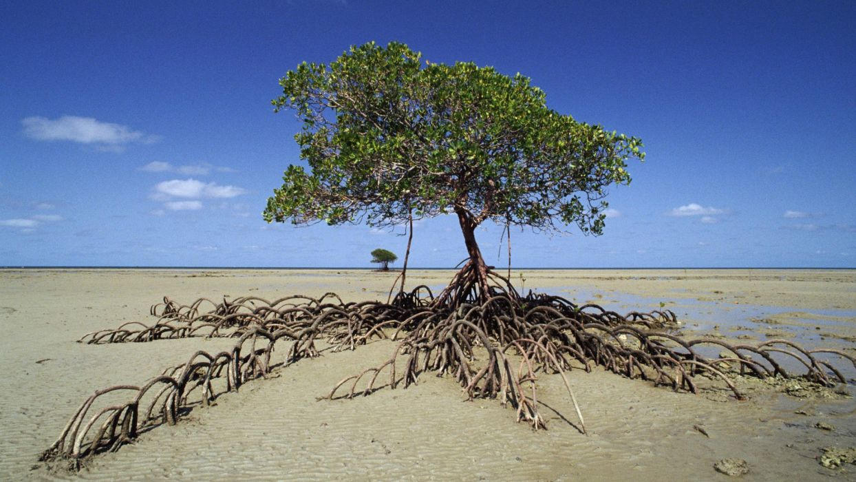 Mangrove tree national park  wallpaper