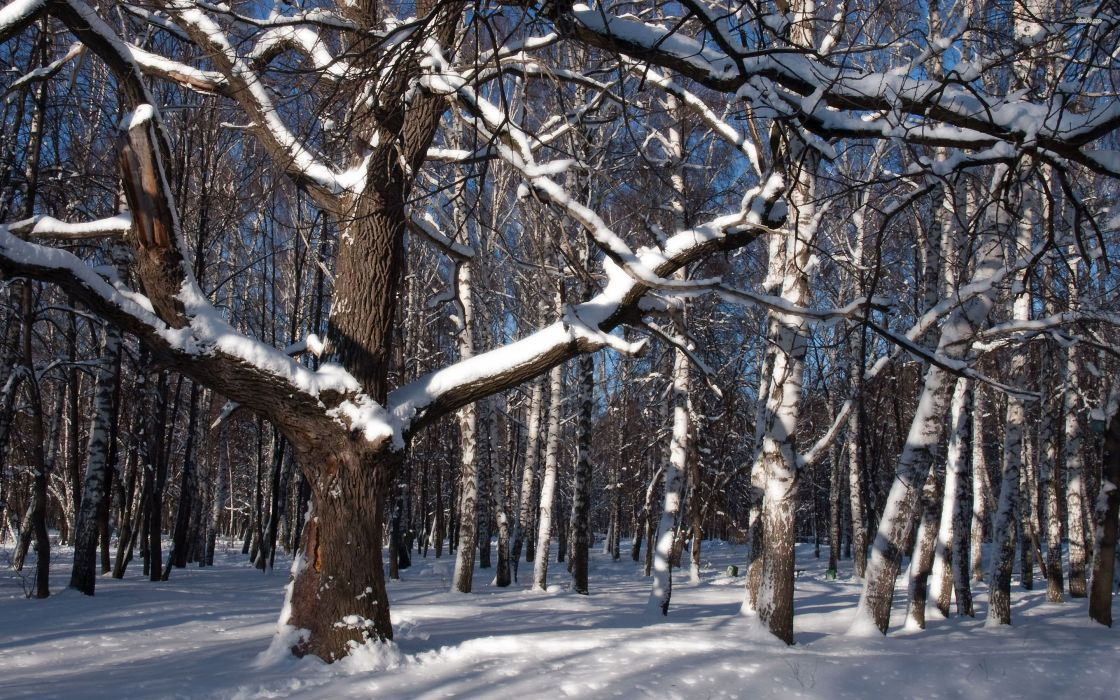 Snow forest tree winter nature  wallpaper