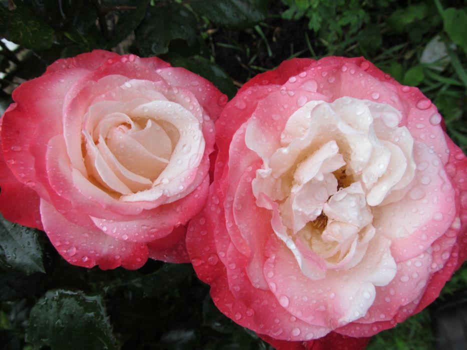 Rose Flowers Flower Ultra wallpaper