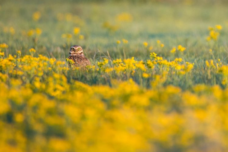 flowers field birds owl looking at viewer yellow flowers wallpaper