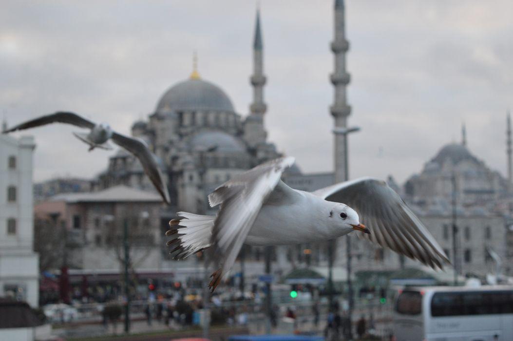animals birds Istanbul Mosque Seagulls turkey original wallpaper