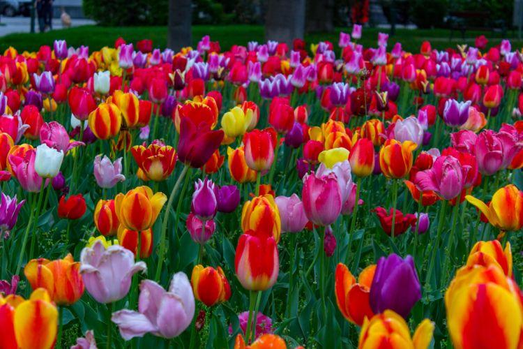 flores tulipanes naturaleza wallpaper