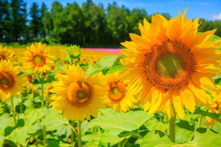 girasoles flores naturaleza wallpaper