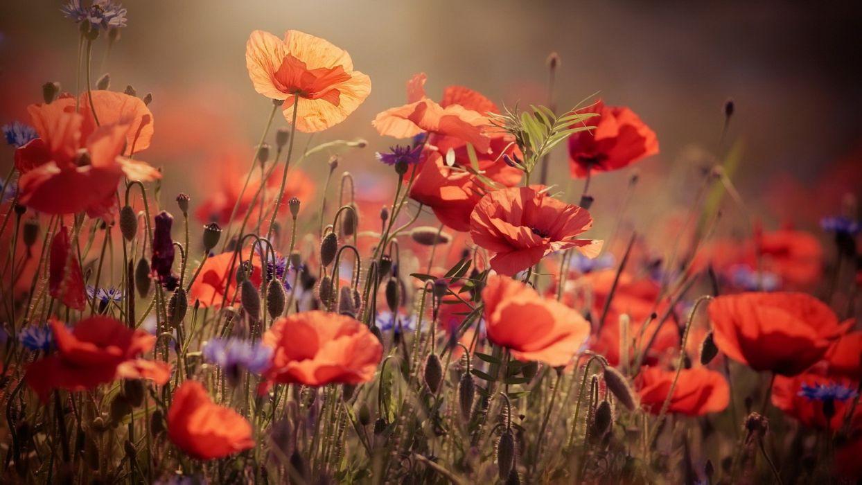 flores amapolas naturaleza wallpaper