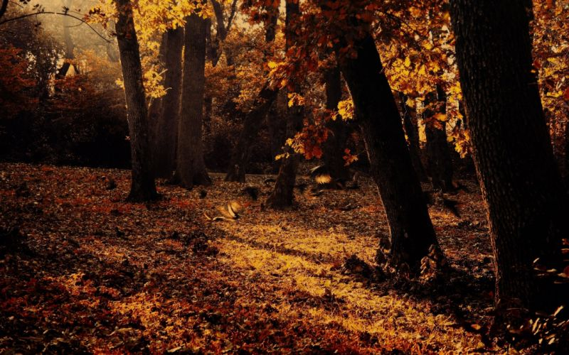 Forest Tree Autumn Fall wallpaper