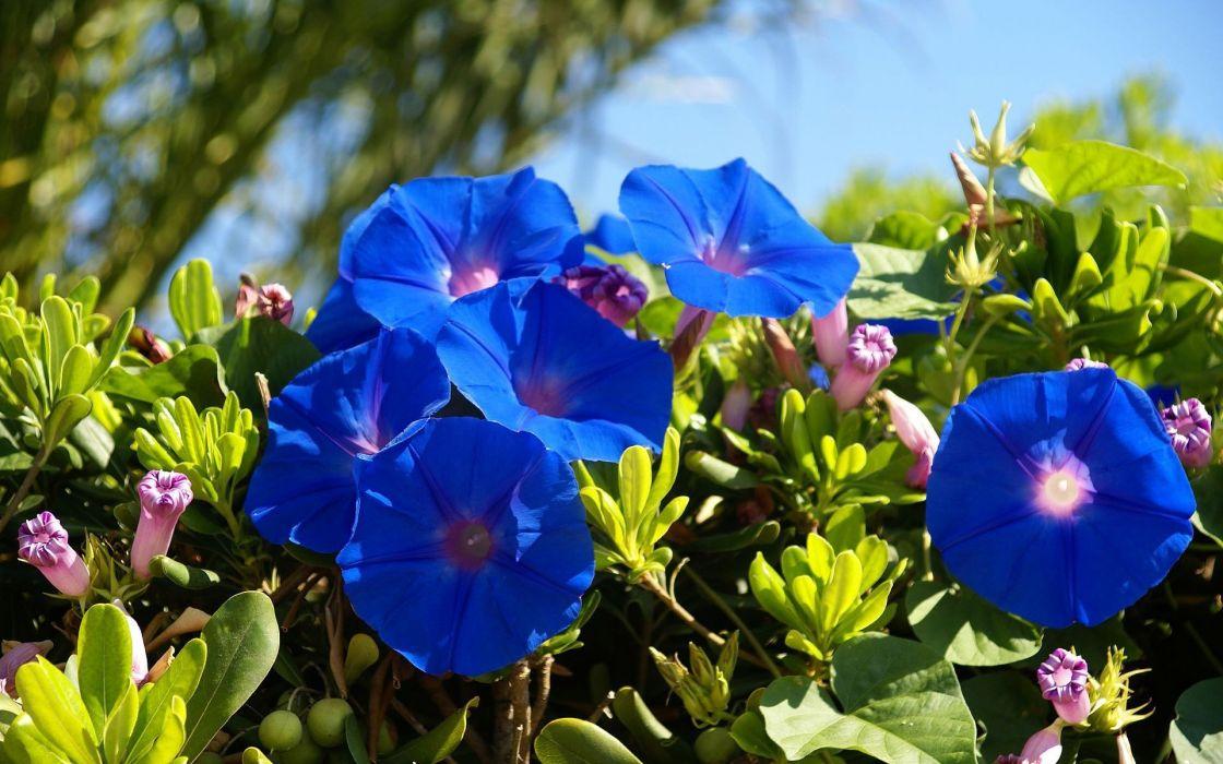 naturaleza flores azules wallpaper