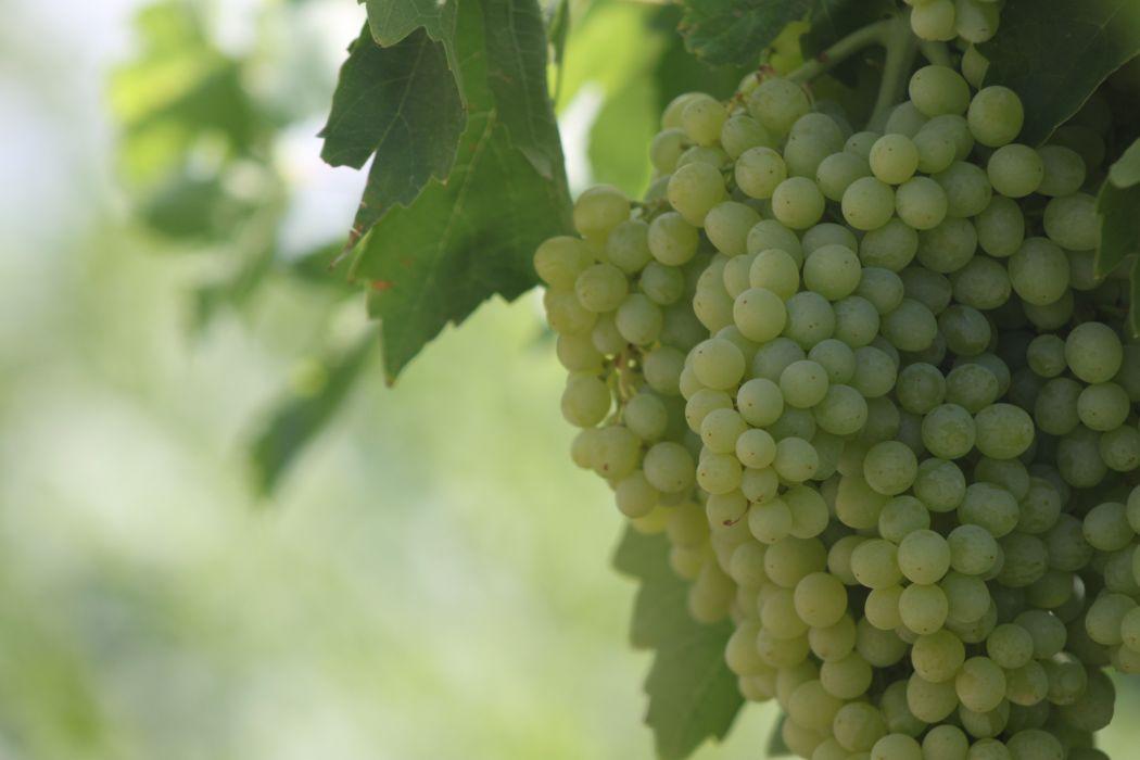 racimo uva blanca fruta wallpaper