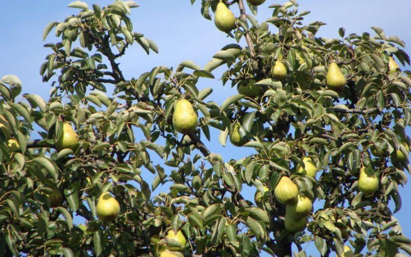 frutas arbol peras naruraleza wallpaper