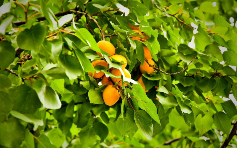 albaricoques frutas arbol naturaleza wallpaper