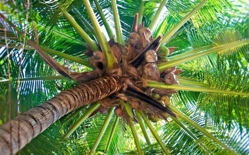cocos palmera naturaleza wallpaper