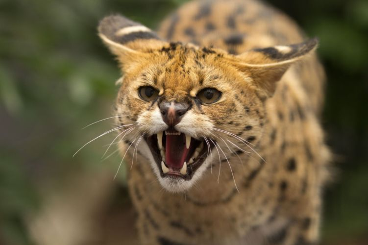 Animal Serval Cat Angry Face wallpaper