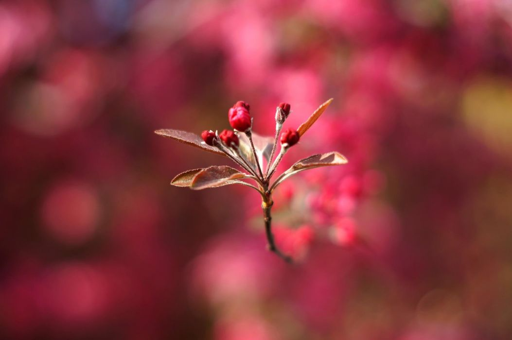 photography macro depth of field flowers pink flowers leaves bokeh wallpaper