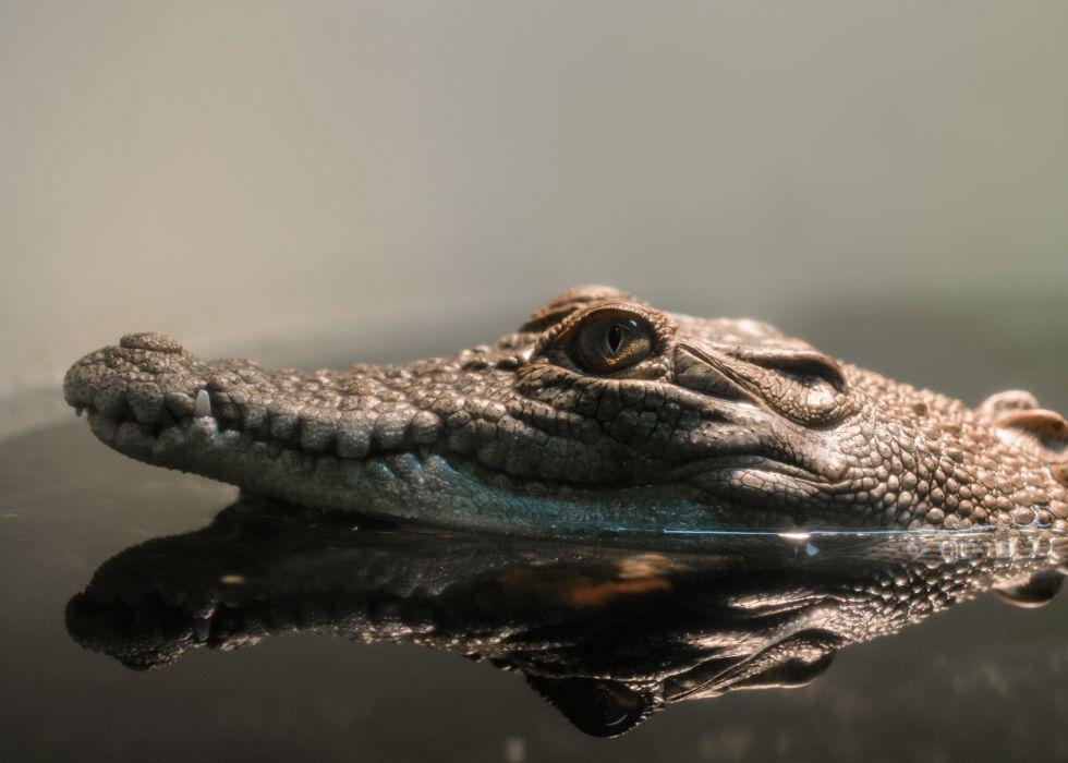 reptiles crocodiles reflection wallpaper