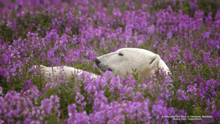 A Relaxed Polar Bear in Fireweed Manitoba wallpaper