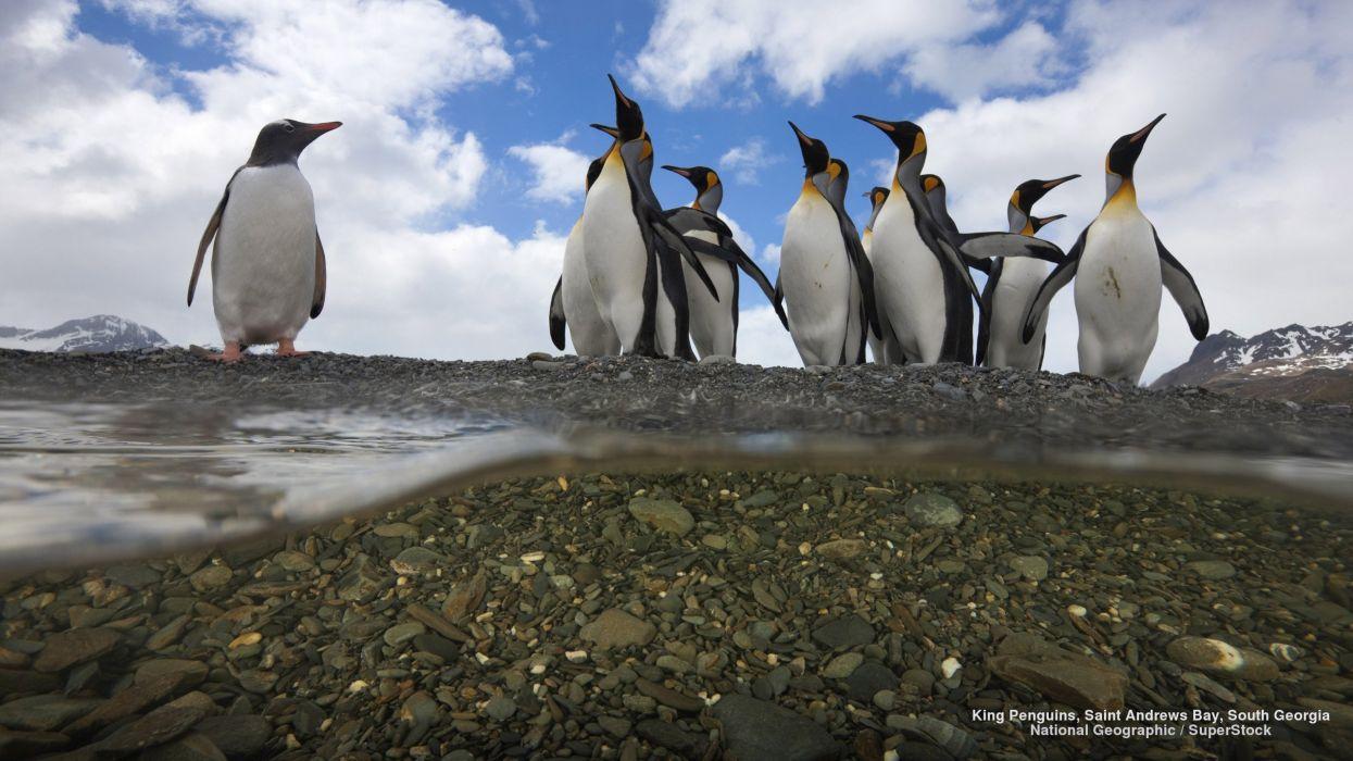 King Penguins Saint Andrews Bay South Georgia wallpaper