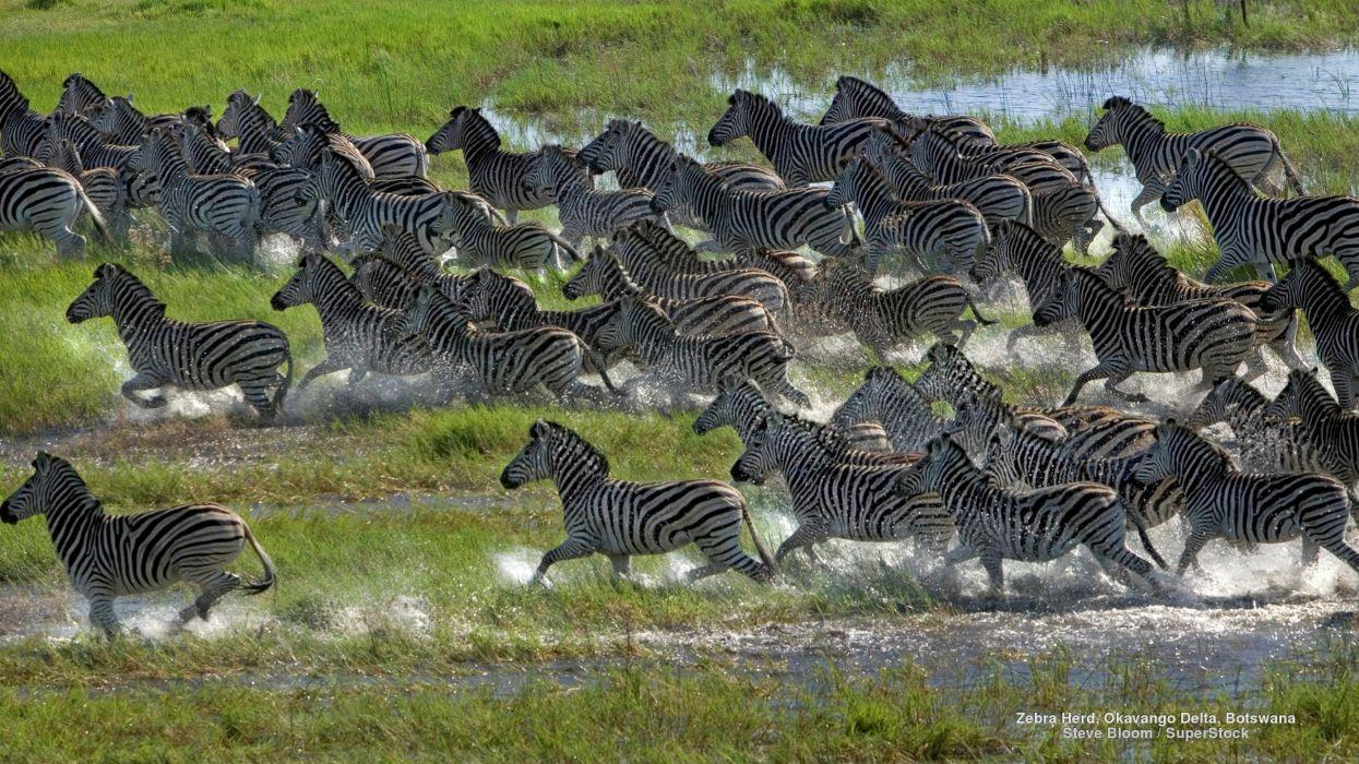 Zebra Herd Okavango Delta Botswana wallpaper