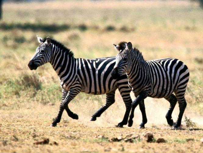 zebra13 wallpaper