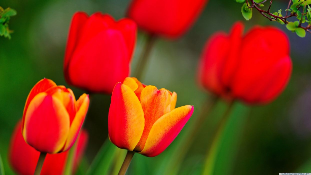 red and orange tulips wallpaper