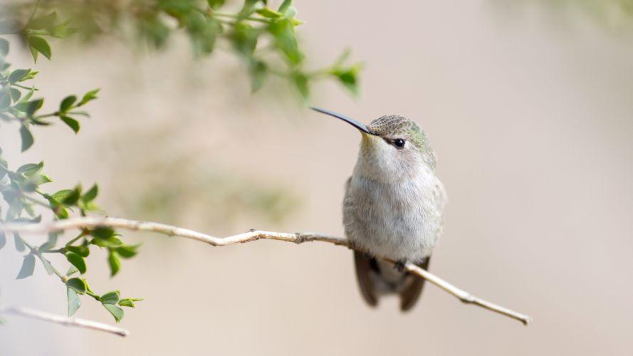 Hummingbird Tree Branch Close Up 4K Desktop Wallpaper wallpaper