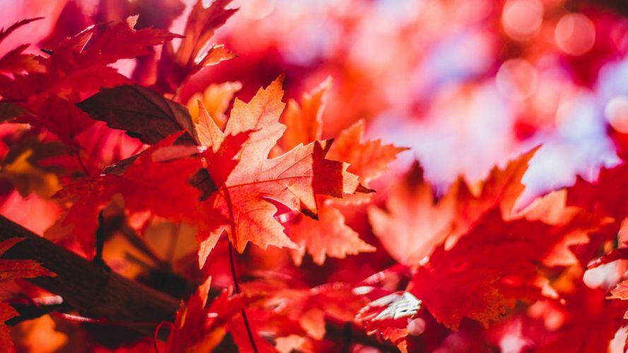 naturaleza hojas secas rojas wallpaper