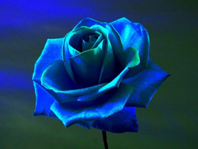 Blue Flowers blue Rose flowers rose wallpaper