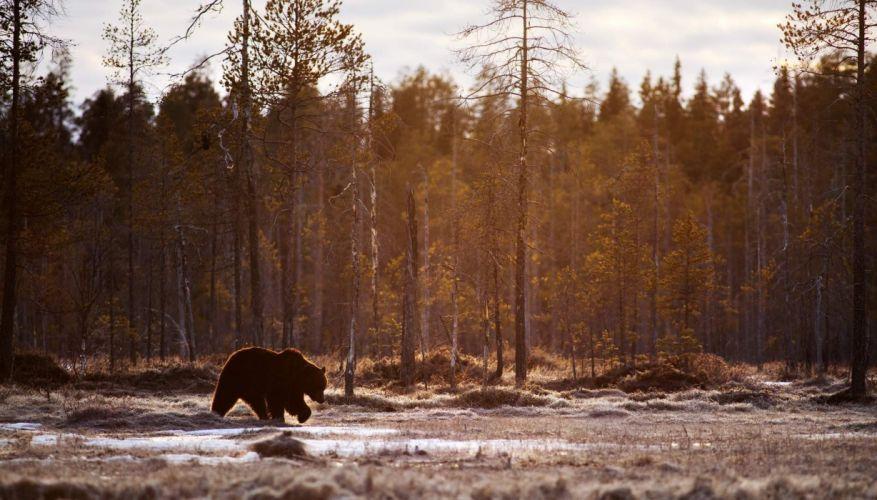 animals bears landscape Mammals Trees wallpaper