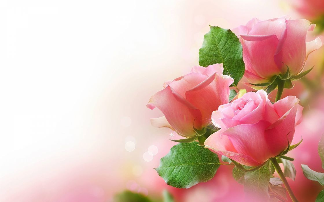 35894904-pink-rose-wallpaper wallpaper