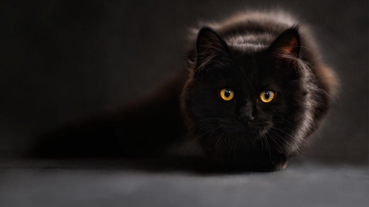 36423206-black-cat-wallpaper wallpaper