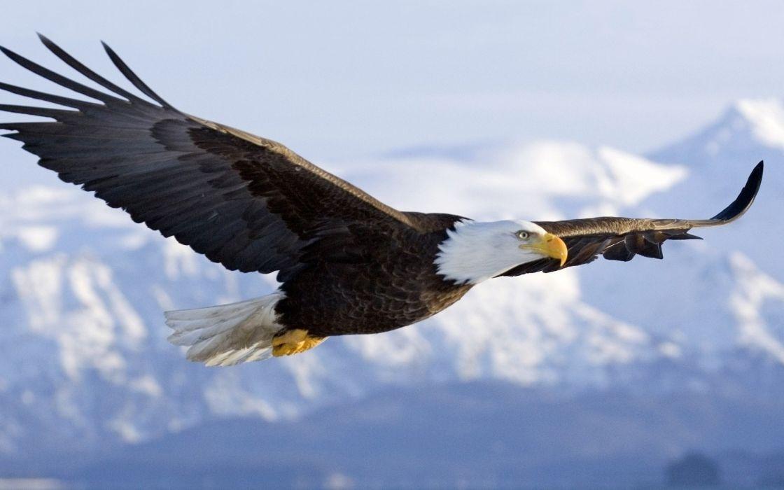 35858089-eagle-picture wallpaper