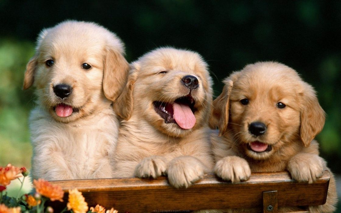 35970975-dogs-wallpaper wallpaper